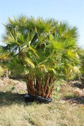 Paurotis Palm Tree