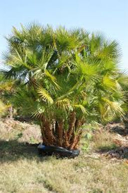 Paurotis Palm Tree clumping in the wild