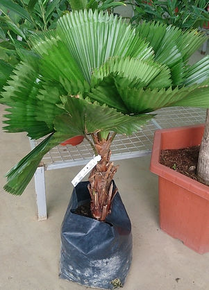 Ruffled Fan palm tree about to be planted
