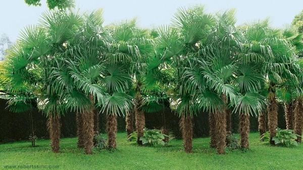 Windmill Palm Tree - Most Popular Palm Trees