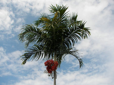 Carpentaria Palm Tree in the wild landscape.