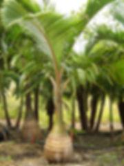 Palm tree rental, palm trees, plant rental, hotel lobby plant rental, palm trees