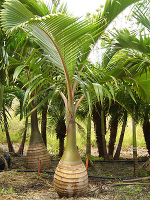 Palm tree rental, palm trees, plant rental, hotel lobby plant rental, palm trees