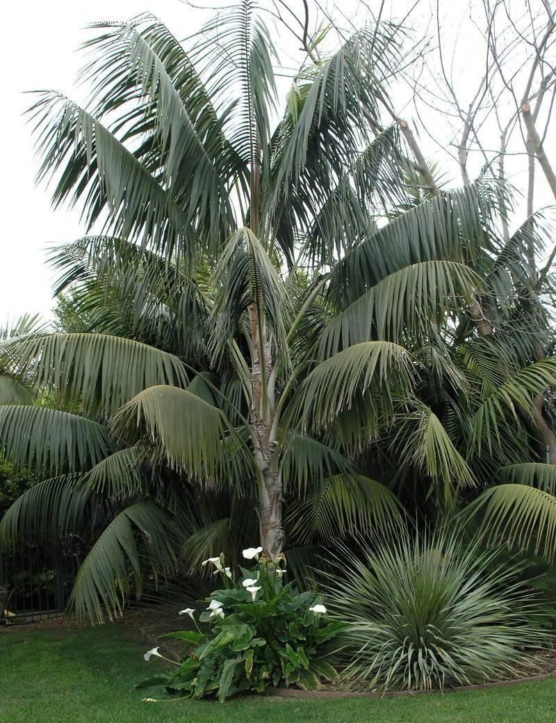 Kentia Palm Tree - Most Popular Palm Trees