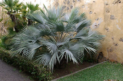 Mazari Palm Tree in the landscape