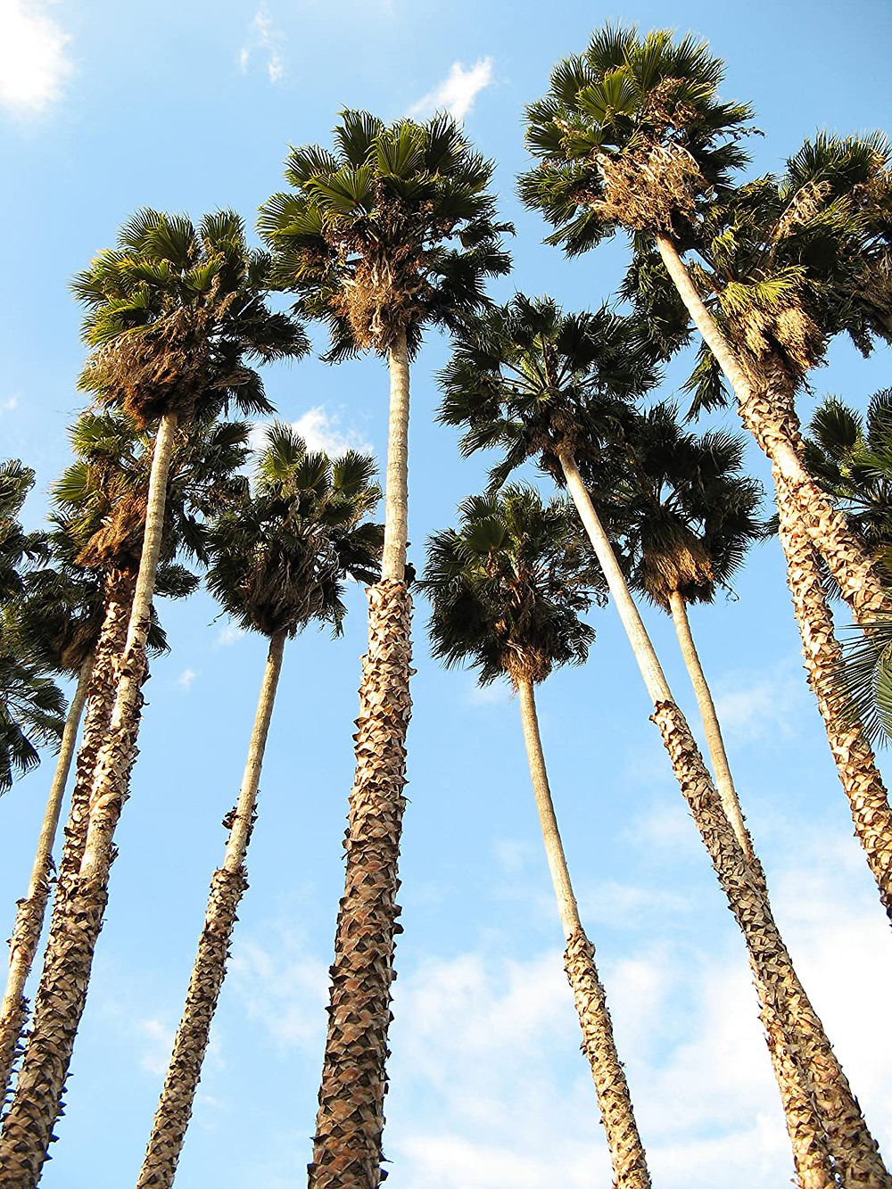 CaliforniaFan Palm Tree