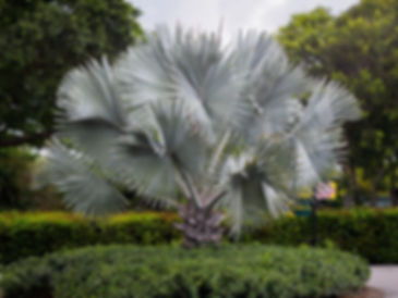 Bismarck palm trees in the landscape. Cold hardy palm tree bismarck palm. Rare palm trees