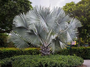 Bismarck palm trees in the landscape. Cold hardy palm tree bismarck palm. Rare palm trees