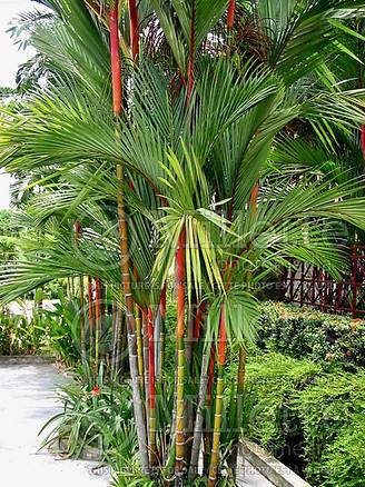 Lipstick Palm Tree