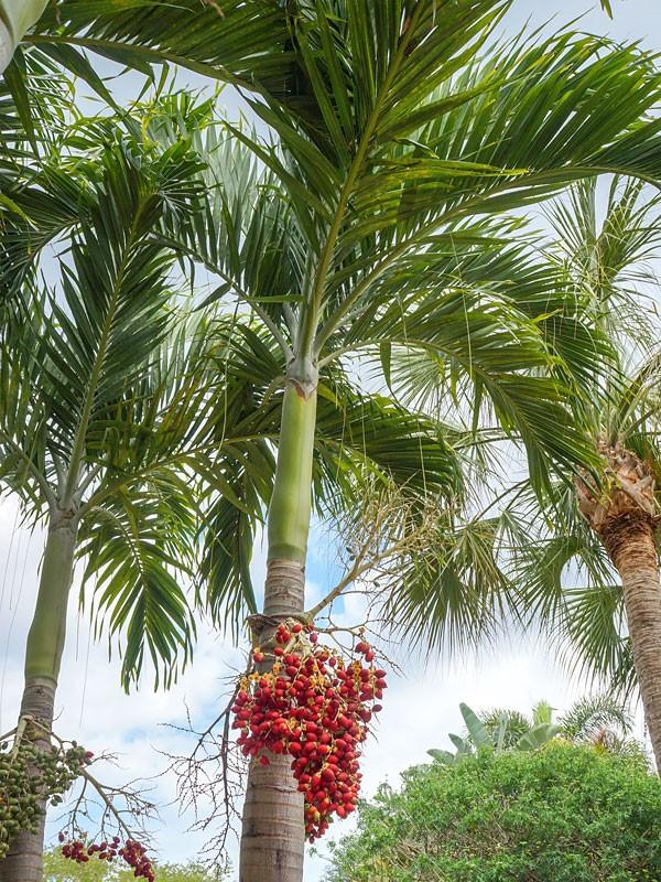 Christmas Palm Tree