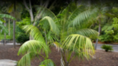 Kentia Palm Tree in the wild landscape