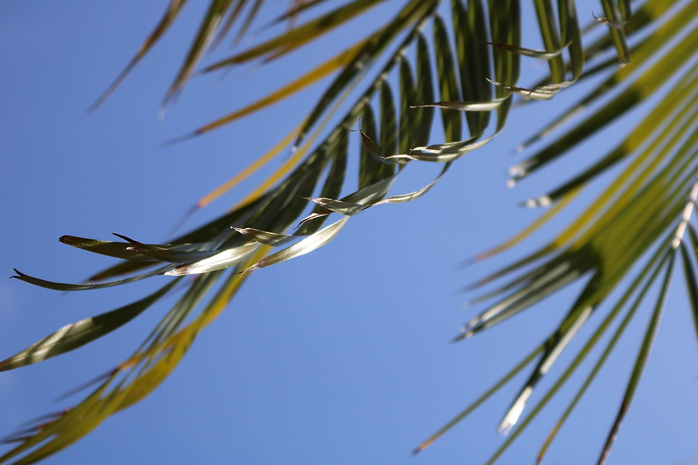 Palm Tree Uses - Fronds
