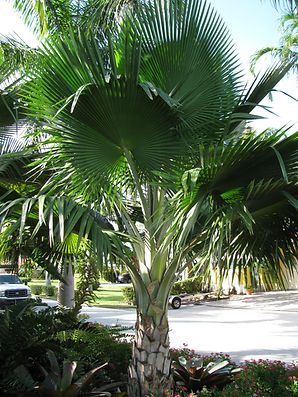 Fiji Fan Palm Tree in the wild