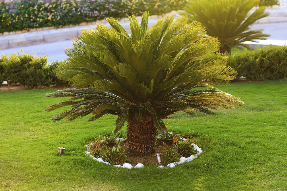 Sago Palm Tree - Most Popular Palm Trees