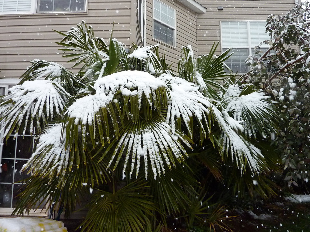 Cold Hardy Windmill Palm Tree In The Snow