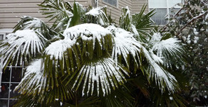 Best Cold Hardy Palm Trees