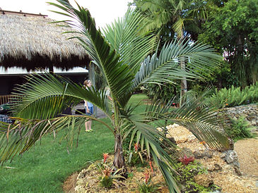 Princess Palm tree in the wild landscape