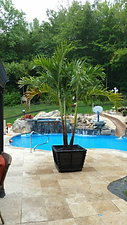 Palm Trees In CT, rent plants, palm trees, buy palm trees, rent palm trees, palm trees in new england, palm trees in new york, plant storage