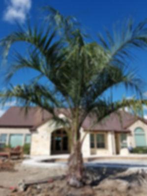 Mule Palm Tree in the landscape