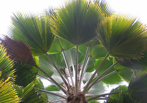 Palm Tree Fronds, Palm Trees, Mexican Fan Palm Tree