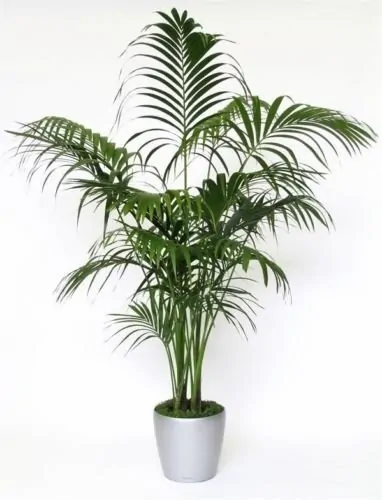 Sentry Palm Tree - Most Popular Palm Trees
