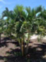 Christmas Palm Tree - Hotel Lobby Plant Rental