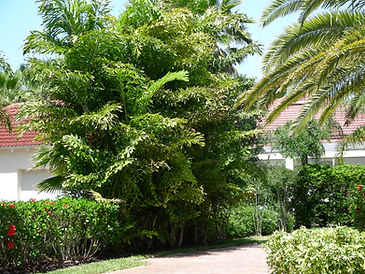 Fishtail palm tree in landscape. Rare palm tree