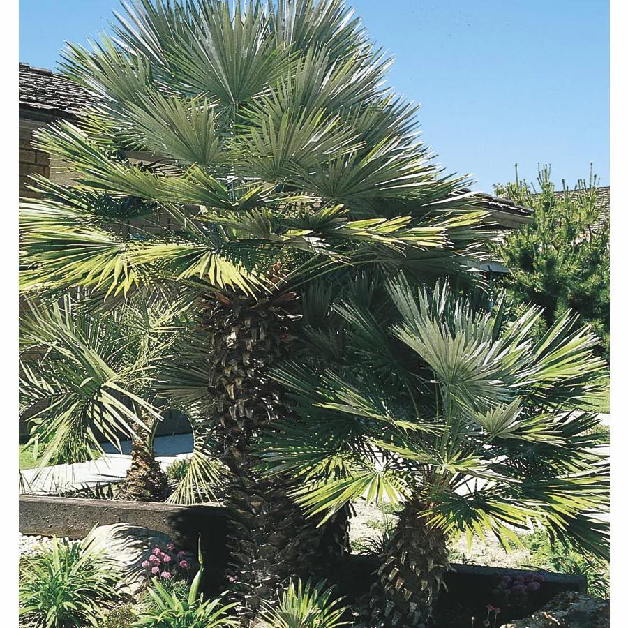 European Fan Palm Tree - Most Popular Palm Trees
