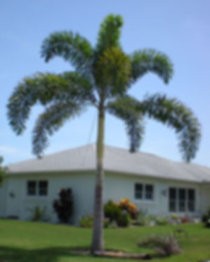 Foxtail palm tree in the landscape