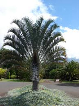 Triange Palm tree just planted in th landscape