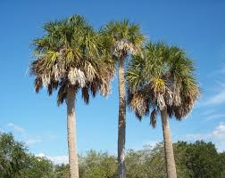Cabbage Palm Tree