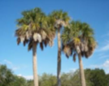 Cabbage palm trees in the landscape. Sabal Palmetto palm trees. Palm trees in myrle beach