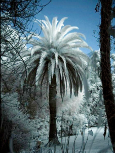 Cold Hardy Palm Tree Covered In Snow