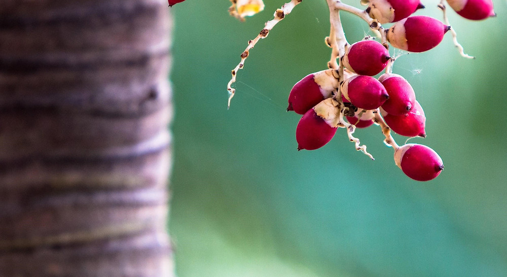 Xmas Palm Tree Seeds