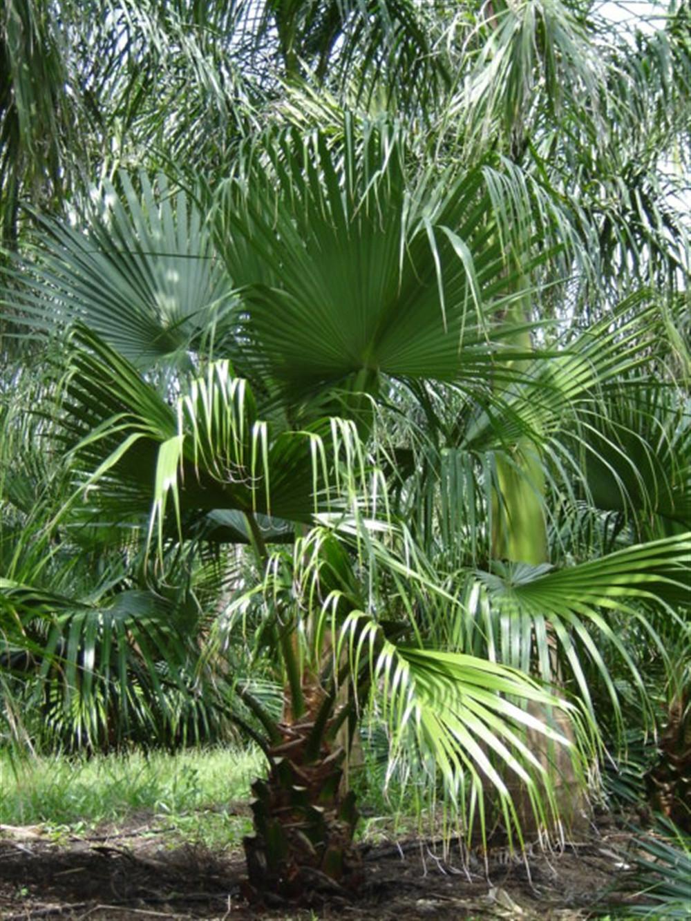 Chinese Fan Palm Tree