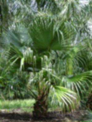 Chinese fan palm tree in the wild landscape. Fan palm trees