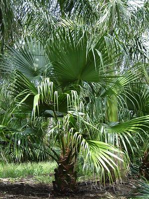 Chinese fan palm tree in the wild landscape. Fan palm trees