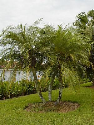 Pygmy Date Palm Tree - Palm Tree Rental