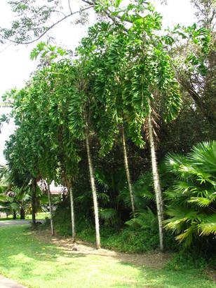 Coyure Palm Tree