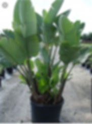 plant nursery in CT, palm trees in new england, buy palm trees, rent palm trees, palm trees for sale, bird of paradise for sale