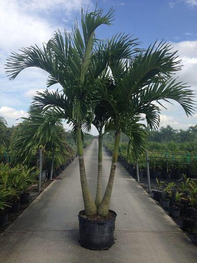 Christmas Palm Tree - Plant Nursery In CT