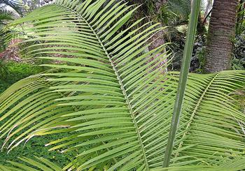 Majesty Palm Tree, Palm Tree Fronds, Identify Palm Tree