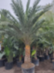 plant nursery in CT, palm trees in new england, buy palm trees, rent palm trees, palm trees for sale, sylvester palm tree