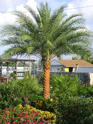 Sylvester Date palm tree in the wild landscape