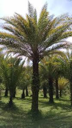 True Date Palm Tree in the wild