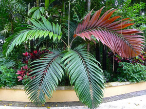 Red Feather Palm Tree