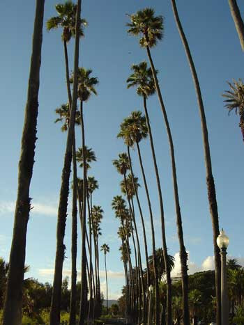 Tall Mexican Fan Palm Tree, Palm Tree Heights