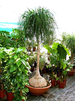 Ponytail palm tree in the greenhouse