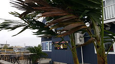 Palm Trees At Restaurant, rent plants, palm trees, buy palm trees, rent palm trees, palm trees in new england, palm trees in new york, plant storage