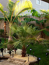 Hardy Palm Trees, rent plants, palm trees, buy palm trees, rent palm trees, palm trees in new england, palm trees in new york, plant storage